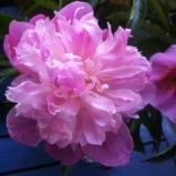 Pfingstrosen-Glück bei Regenwetter im Mai 2